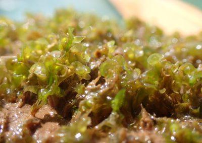 Riella helicophylla